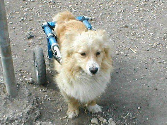 Prečo si adoptovať staršieho psíka alebo psíka s hendikepom?